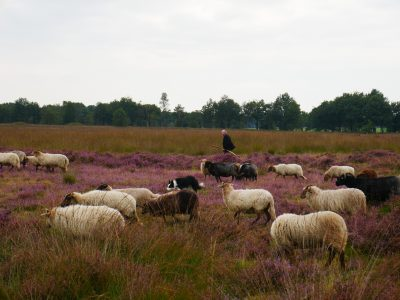 schapen, drenthe, cultuur, natuur